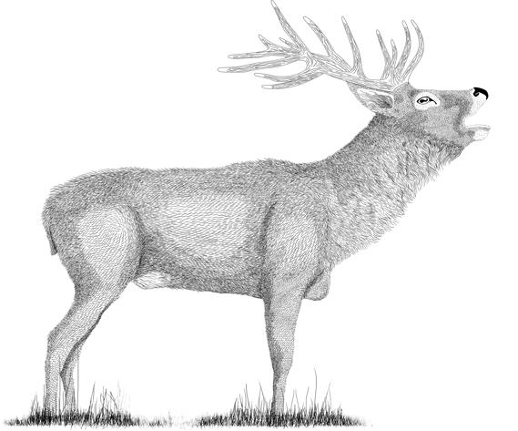 Gezeichneter röhrender Hirsch auf Wiese